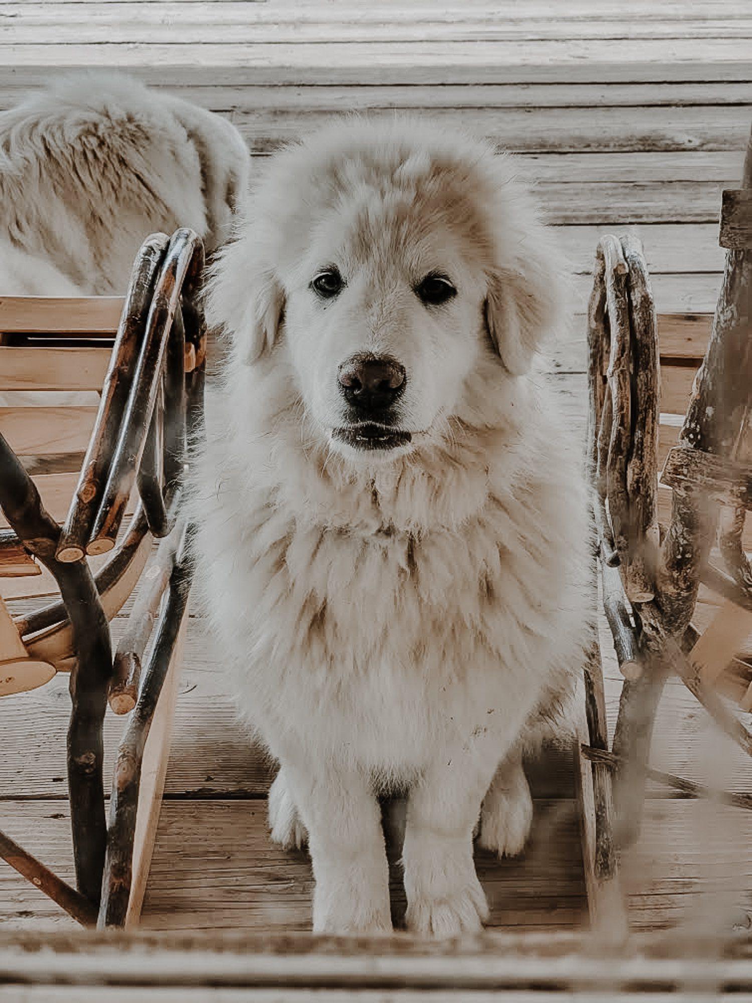 MAR Koda of HPF - G3 Colorado Mountain Dog